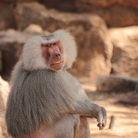 Untitled by Yana Villion - Animals Other ( baboon, alone, lonely, monkey, animal, Africa, Safari,  )