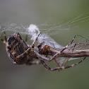 Garden Spider & Captured Crane Fly