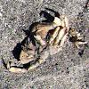 Crab (Dead)