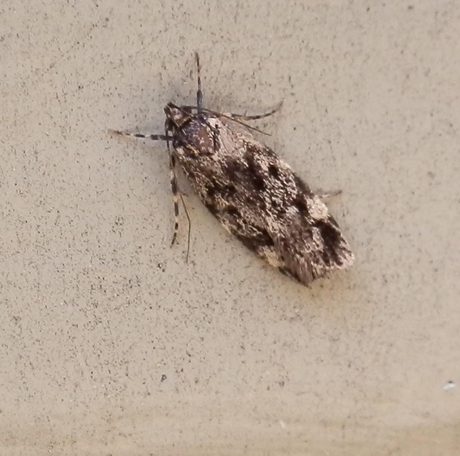 Barea Moth