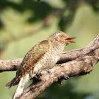 Diderick Cuckoo juvenile
