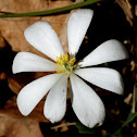 Bloodwort or Bloodroot