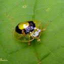 Golden ringed tortoise beetle