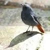 Plumbeous Water Redstart male