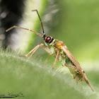 Tomato Bug