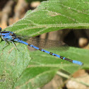 Vivid Dancer (Male)