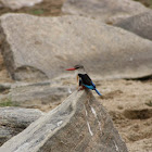 Kingfisher Halcyon sp.