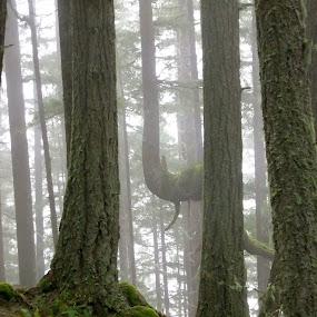Rainforest Morning ~ Oregon by Joan Rankin Hayes - Nature Up Close Trees & Bushes ( fog, misty scene, trees, forest, landscape )