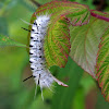 Hickory Tussock Moth caterpillar