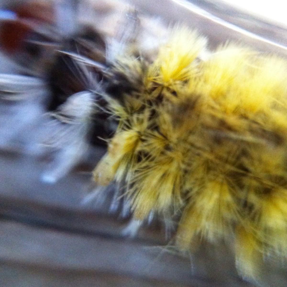 Ctenucha Larvae