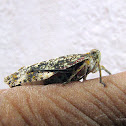 a kind of plant hopper
