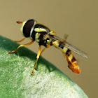 Yellow-shouldered Hover Fly or Common Hover Fly (Male)