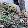 Lung Liverwort (female plants)