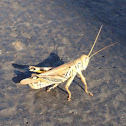 Differential Grasshopper (male)