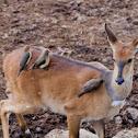 Reedbuck (female)