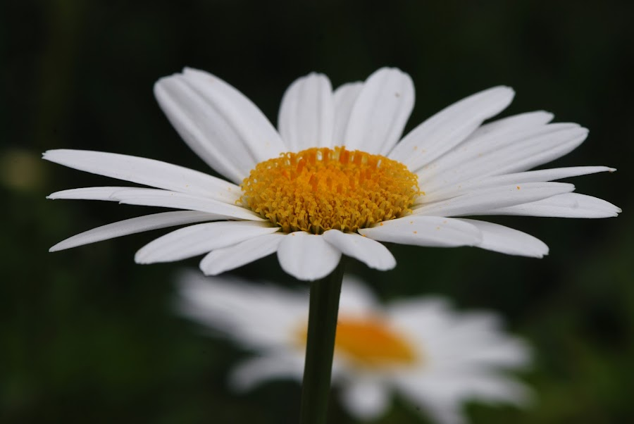 Daisy Closeup - Side View by Deborah Powell - Flowers Single Flower ( white flower, petals, blooming, daisy, side view of daisy, bloom, daisy center, macro, perennial, summer, yellow disc floret, disc floret, closeup, flower,  )