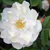 Rugosa Rose 'Henry Hudson'