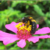 Yellow-banded Carpenter Bee