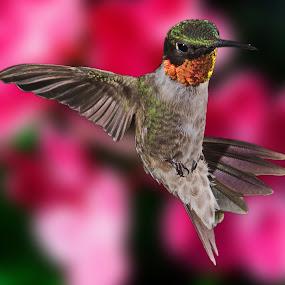 by Lyle Gallup - Animals Birds ( hummingbird'bird, , colorful, mood factory, vibrant, happiness, January, moods, emotions, inspiration, bird, fly, flight )