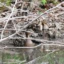 Mallard Duck & Ducklings