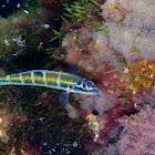 Pez verde (hembra)