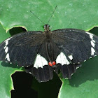 Orchard Butterfly