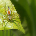 Orange backed lynx spider (female)