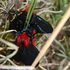 Crimson-bodied Lichen Moth