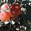 Oak tree gall