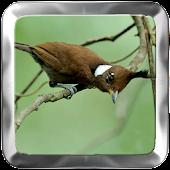 Crested Jay Bird Singing