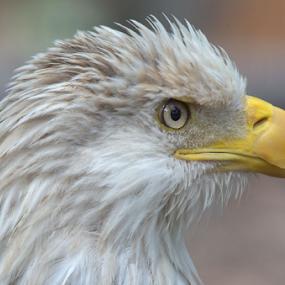 A Bald Eagle by Steve Edwards - Animals Birds ( bird, animals, eagle, bald eagle, birds,  )