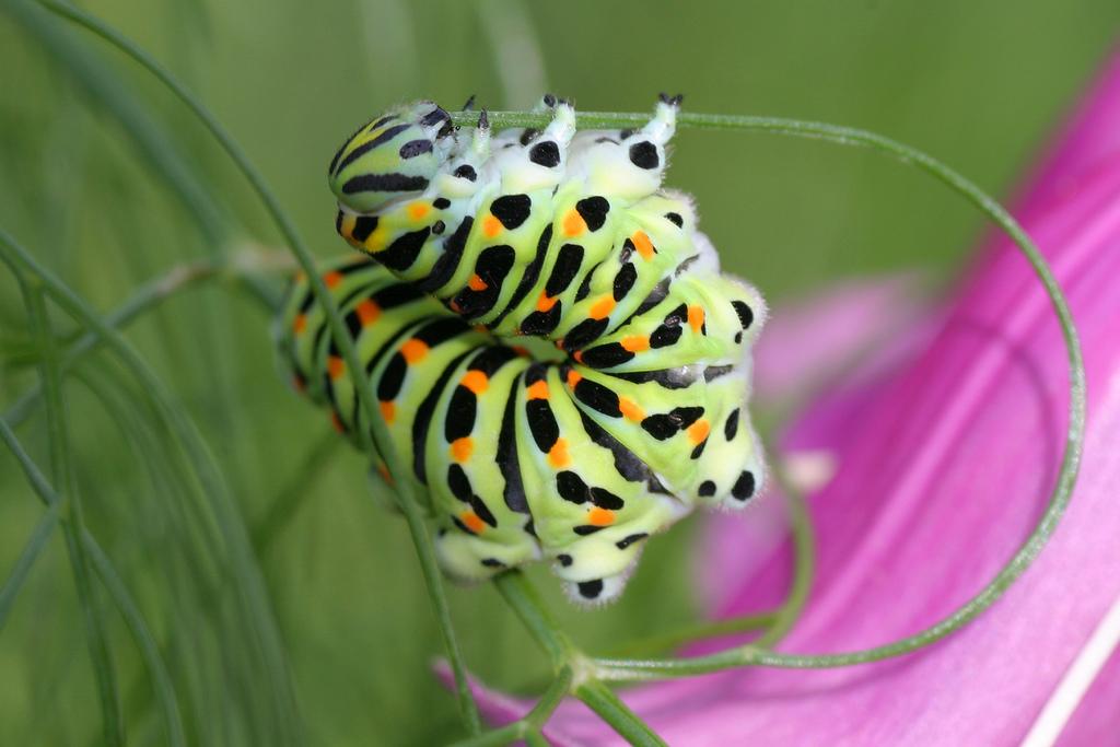 Old World Swallowtail Caterpillar