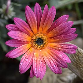 Lovin' The Water by Ed Hanson - Flowers Single Flower ( water, orange, drops, close-up, flower )