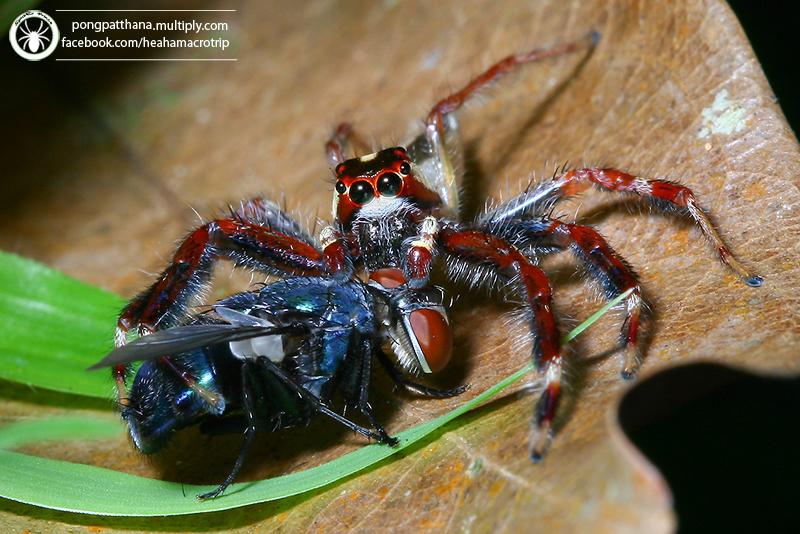 Two-Striped Telamonia Jumping Spider
