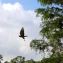 Red shouldered hawk... I think