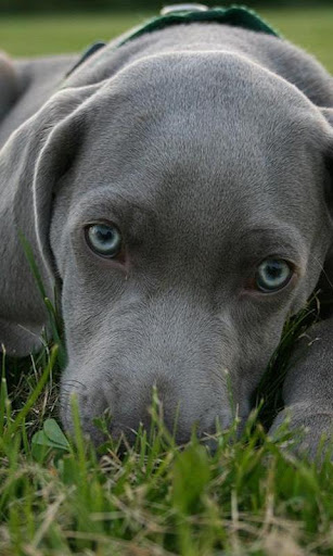 Weimaraners Wallpapers