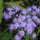 Bluemink flower