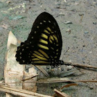 Yellow Zebra