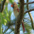 Northern Cardinal (immature male)