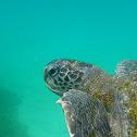 La Tortuga Verde de Galápagos