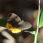 Duponcheli's Bush Brown