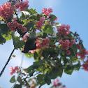 Mahot rose