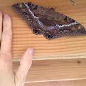 Female Black Witch Moth