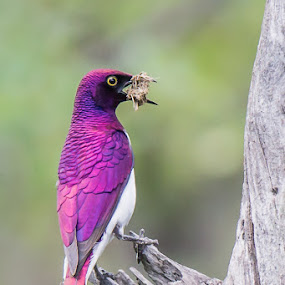 Violet-backed Starling by Martin Oosthuizen - Animals Birds ( bird, starling, avian, violet, backed )