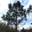 South Florida Slash Pine