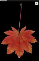Screenshot of Japanese autumn leaves