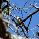 Dusky-capped Flycatcher (Maria-cavaleira-pequena)
