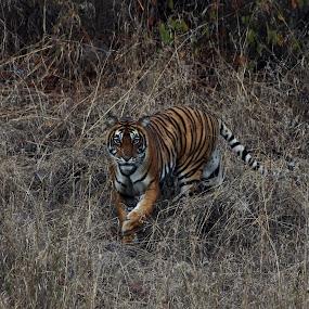 eye view of tigress by Aniket Karane - Animals Lions, Tigers & Big Cats ( front view, ranthambore, tiger, walking tiger, early morning )