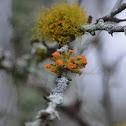 Orange foliose bark lichen