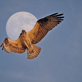 Osprey Moon by Skye Ryan-Evans - Animals Birds ( fish eagle, bird of prey, fish hawk, hovering osprey, super moon, osprey and moon, full moon, raptor, osprey,  )